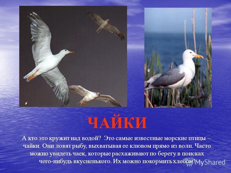 А кто это кружит над водой? Это самые известные морские птицы – чайки. Они ловят рыбу, выхватывая ее клювом прямо из волн. Часто можно увидеть чаек, которые расхаживают по берегу в поисках чего-нибудь вкусненького. Их можно покормить хлебом! ЧАЙКИ
