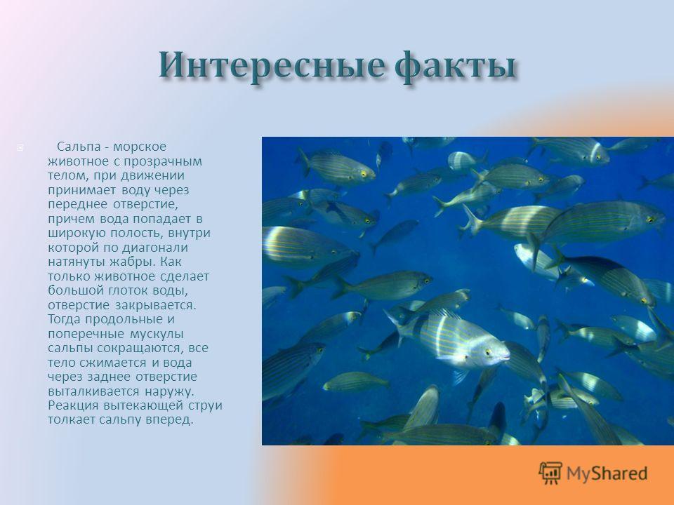 Сальпа - морское животное с прозрачным телом, при движении принимает воду через переднее отверстие, причем вода попадает в широкую полость, внутри которой по диагонали натянуты жабры. Как только животное сделает большой глоток воды, отверстие закрыва