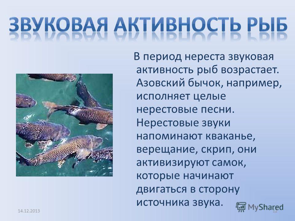 В период нереста звуковая активность рыб возрастает. Азовский бычок, например, исполняет целые нерестовые песни. Нерестовые звуки напоминают кваканье, верещание, скрип, они активизируют самок, которые начинают двигаться в сторону источника звука. 14.