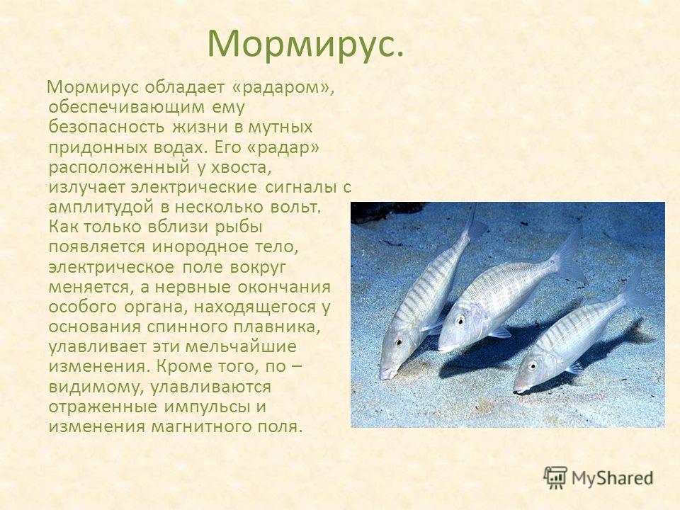 Мормирус. Мормирус обладает «радаром», обеспечивающим ему безопасность жизни в мутных придонных водах. Его «радар» расположенный у хвоста, излучает электрические сигналы с амплитудой в несколько вольт. Как только вблизи рыбы появляется инородное тело