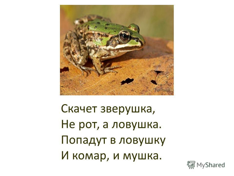 Скачет зверушка, Не рот, а ловушка. Попадут в ловушку И комар, и мушка.