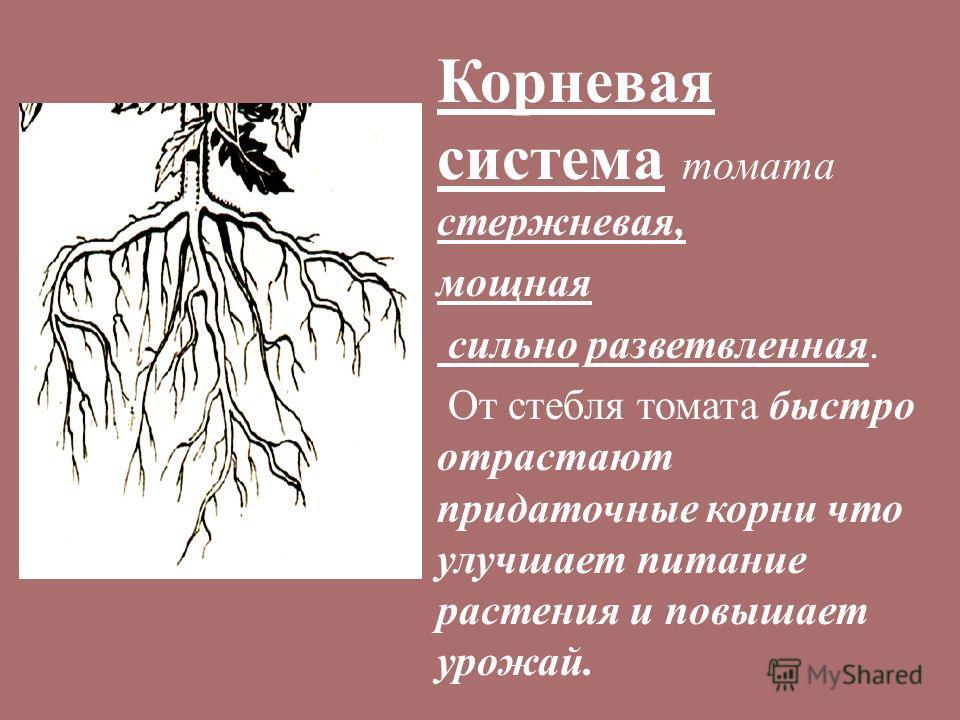 Корневая система томата стержневая, мощная сильно разветвленная. От стебля томата быстро отрастают придаточные корни что улучшает питание растения и повышает урожай.