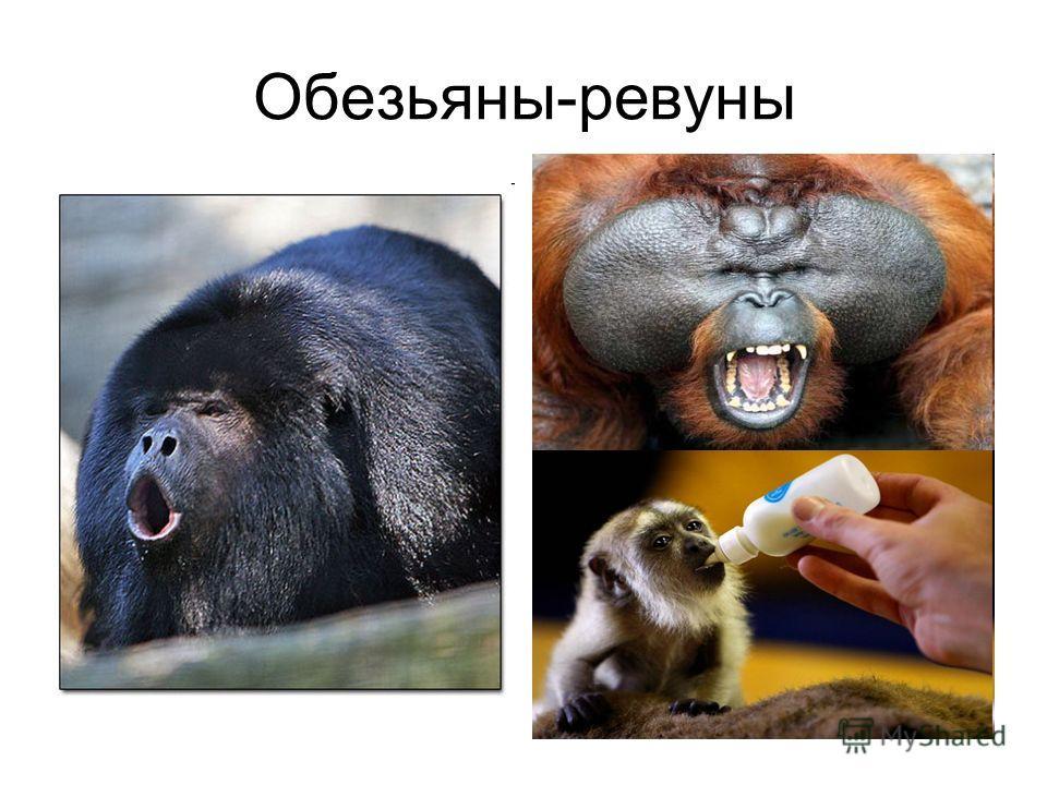 Обезьяны-ревуны