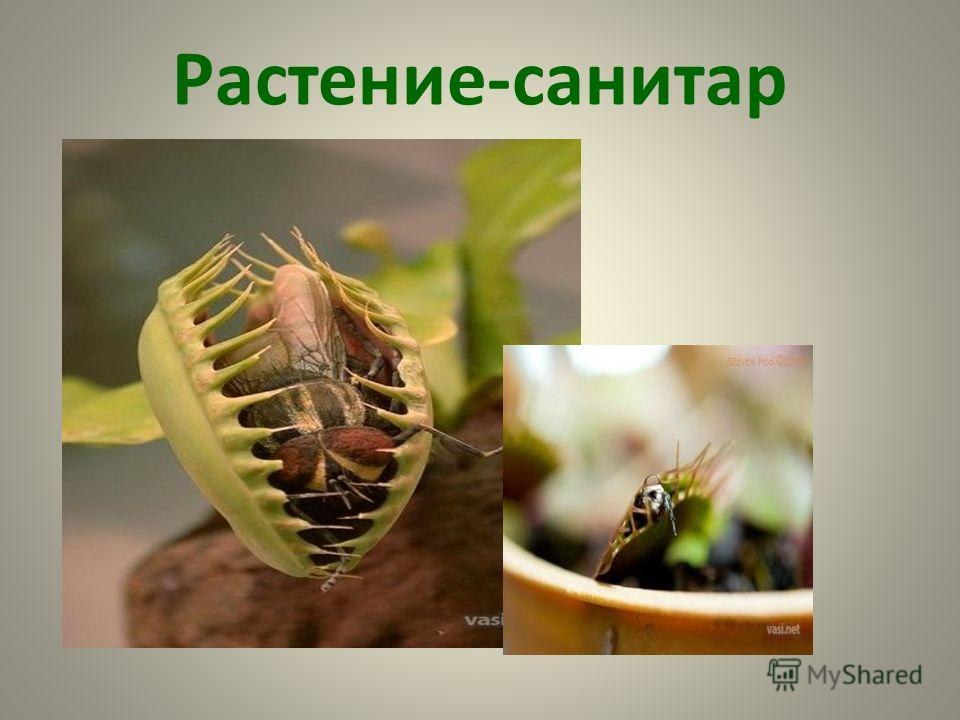 Растение-санитар