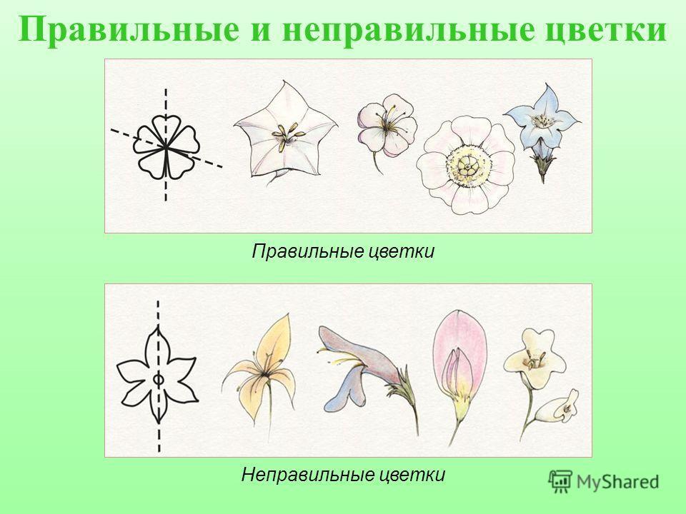 Правильные цветки Неправильные
