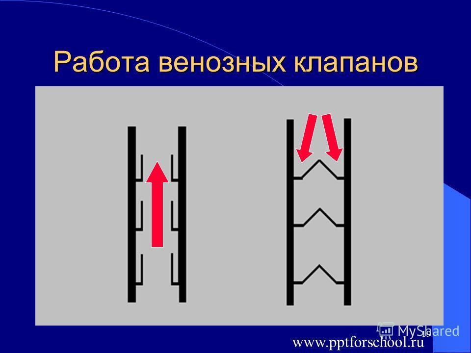 19 Работа венозных клапанов www.pptforschool.ru