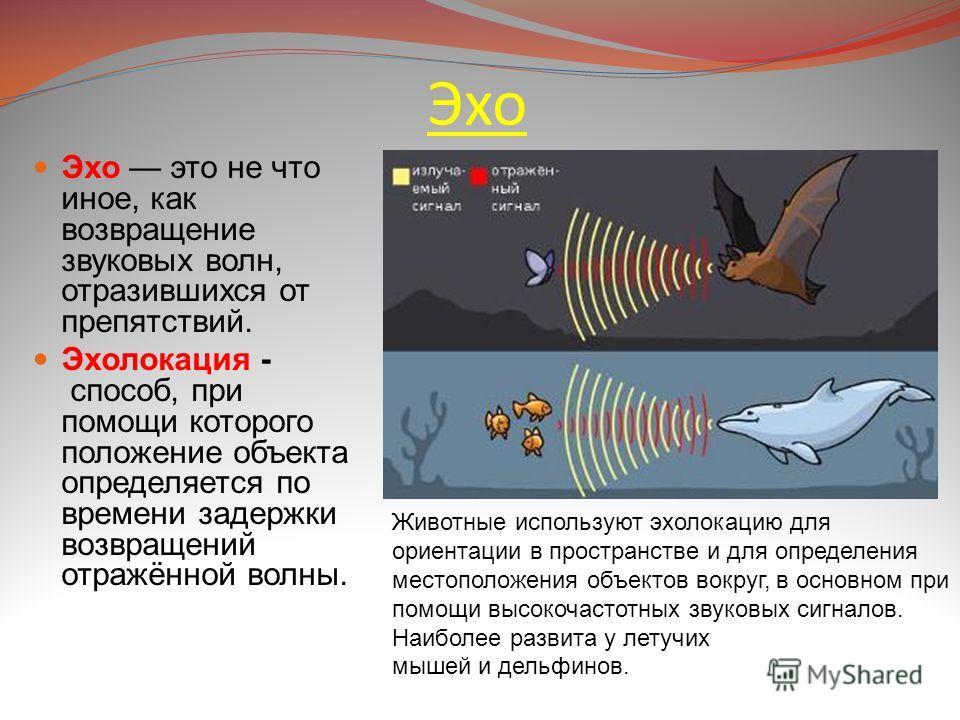 Эхо Эхо это не что иное, как возвращение звуковых волн, отразившихся от препятствий. Эхолокация - способ, при помощи которого положение объекта определяется по времени задержки возвращений отражённой волны. Животные используют эхолокацию для ориентац