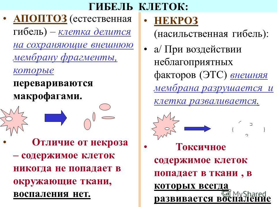 ГИБЕЛЬ КЛЕТОК: АПОПТОЗ (естественная гибель) – клетка делится на сохраняющие внешнюю мембрану фрагменты, которые перевариваются макрофагами. Отличие от некроза – содержимое клеток никогда не попадает в окружающие ткани, воспаления нет. НЕКРОЗ (насиль