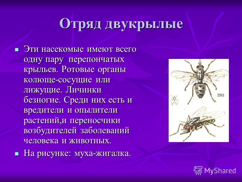 Отряд двукрылые Эти насекомые имеют всего одну пару перепончатых крыльев. Ротовые органы колюще-сосущие или лижущие. Личинки безногие. Среди них есть и вредители и опылители растений,и переносчики возбудителей заболеваний человека и животных. Эти нас