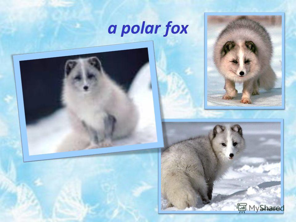 a polar fox