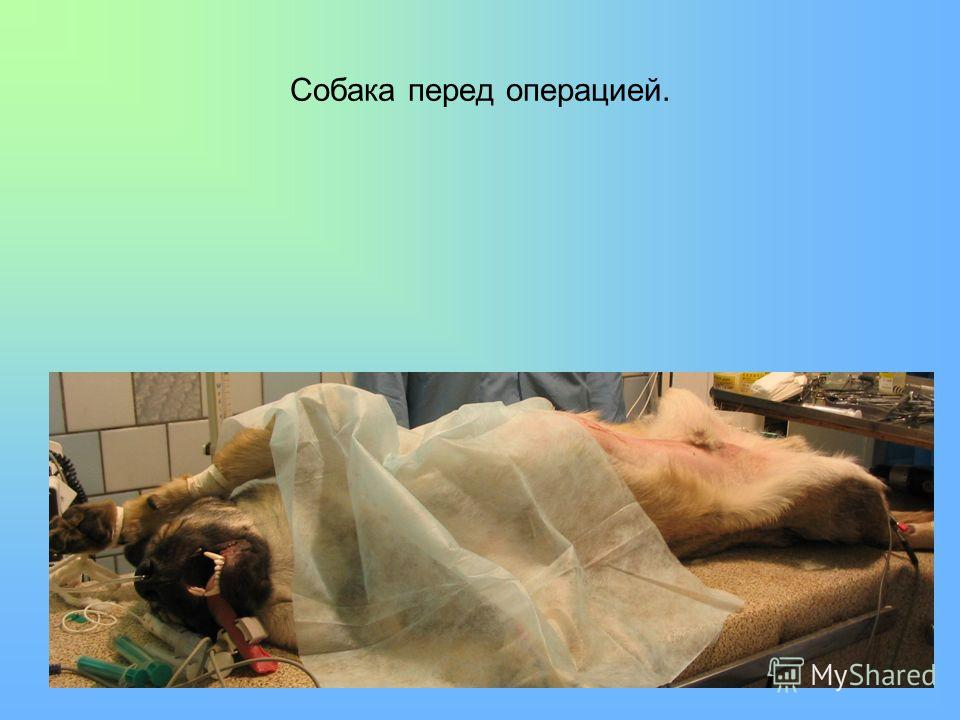 Собака перед операцией.