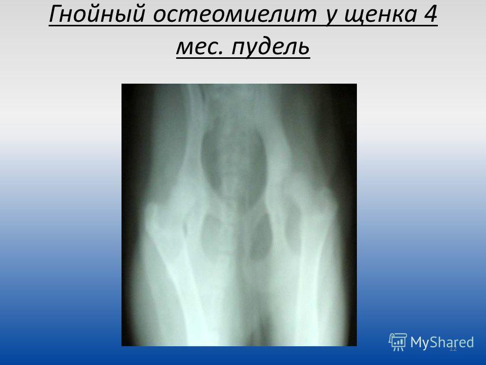 Гнойный остеомиелит у щенка 4 мес. пудель 12