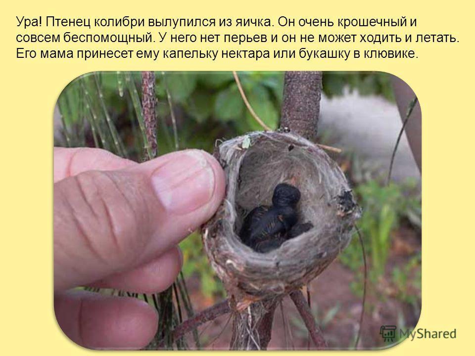 Гнездо этой маленькой птички сплетено из травинок, паутинок, шерстинок и мелких кусочков коры и величина его – со скорлупу от грецкого ореха. Самка подвешивает его на веточке дерева или кустарника. В гнездышке лежат обычно 2 крошечных яичка. Яйца кол