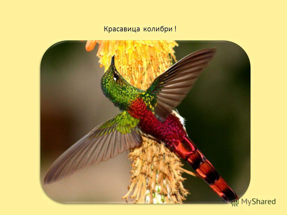 Красавица колибри !