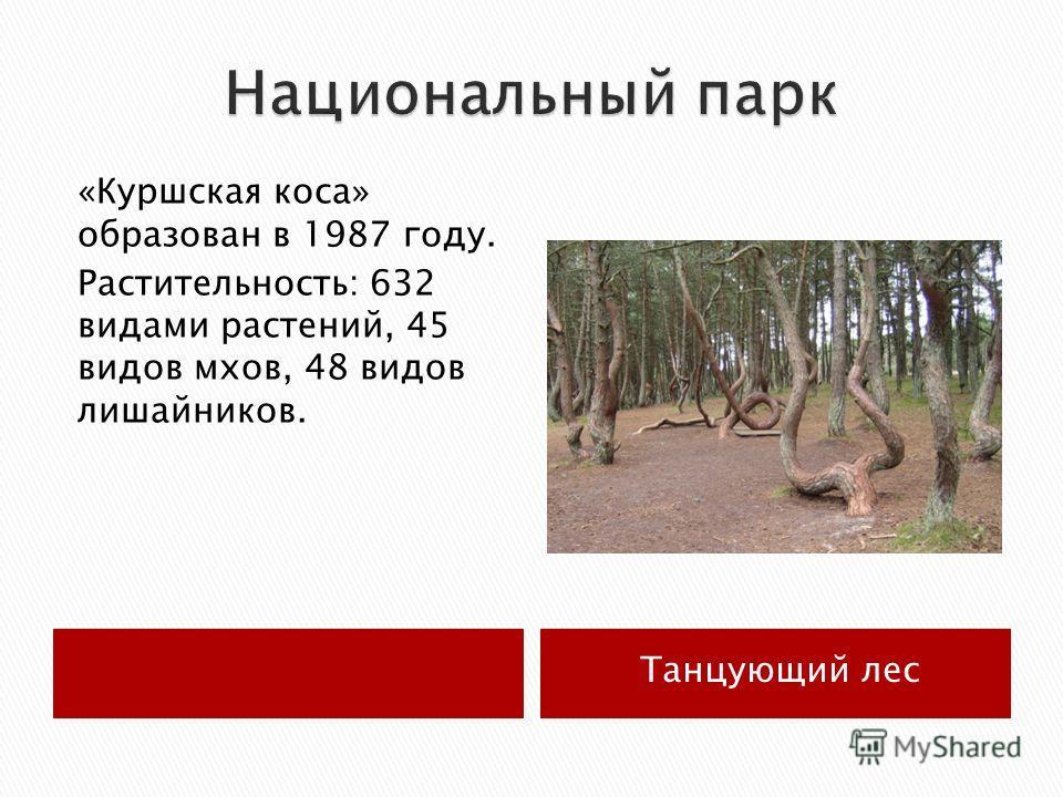 Танцующий лес «Куршская коса» образован в 1987 году. Растительность: 632 видами растений, 45 видов мхов, 48 видов лишайников.