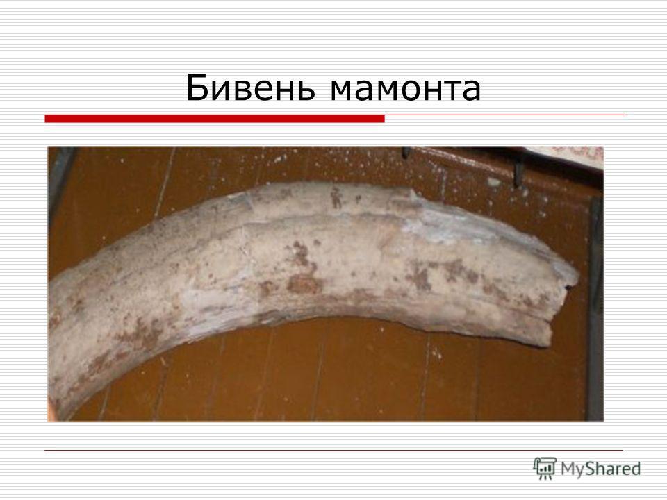 Бивень мамонта