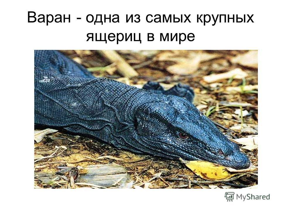 Варан - одна из самых крупных ящериц в мире