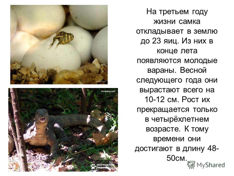На третьем году жизни самка откладывает в землю до 23 яиц. Из них в конце лета появляются молодые вараны. Весной следующего года они вырастают всего на 10-12 см. Рост их прекращается только в четырёхлетнем возрасте. К тому времени они достигают в дли
