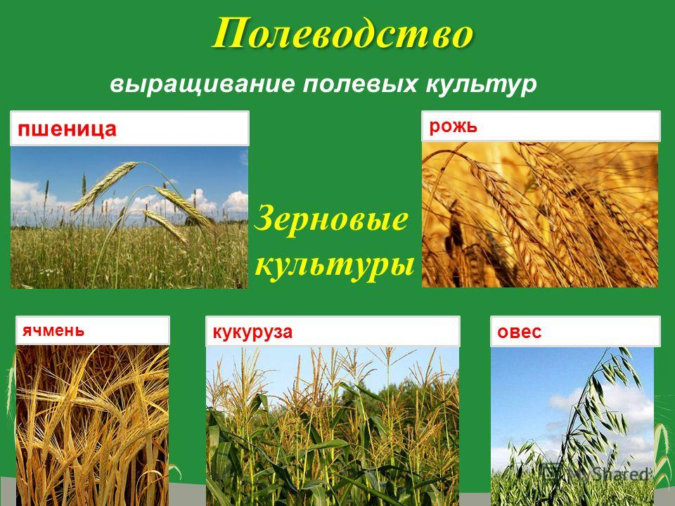 Полеводство выращивание полевых культур пшеница рожь ячмень овескукуруза Зерновые культуры