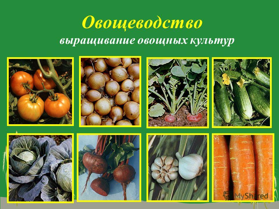 Овощеводство выращивание овощных культур