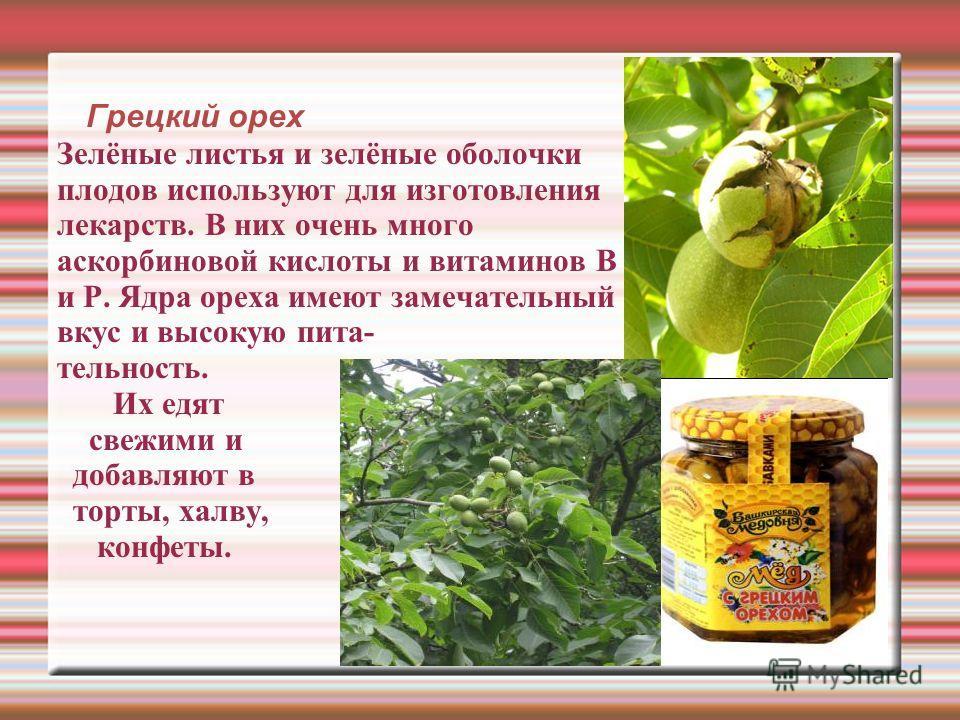 Грецкий орех Зелёные листья и зелёные оболочки плодов используют для изготовления лекарств. В них очень много аскорбиновой кислоты и витаминов В и Р. Ядра ореха имеют замечательный вкус и высокую пита- тельность. Их едят свежими и добавляют в торты,