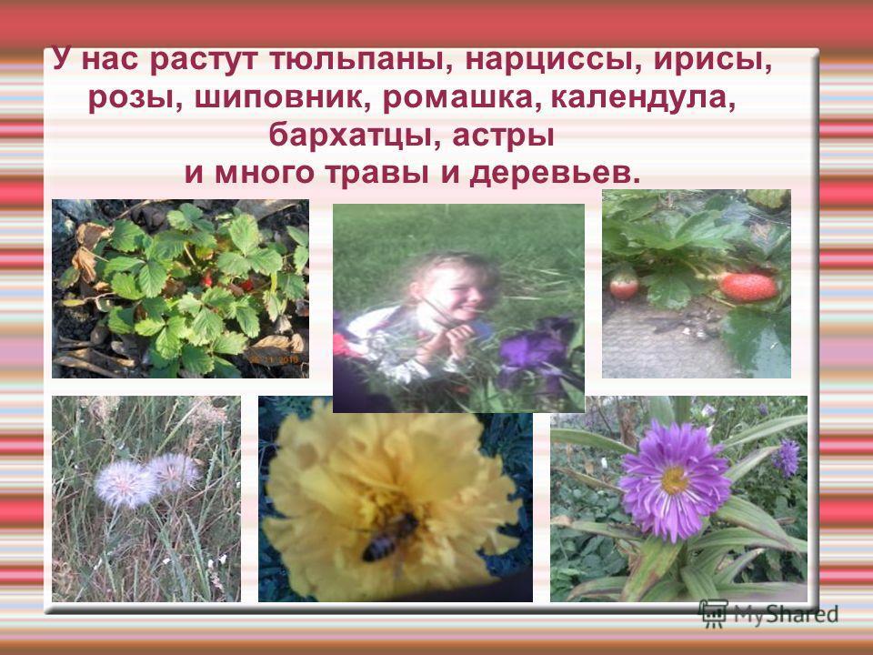 У нас растут тюльпаны, нарциссы, ирисы, розы, шиповник, ромашка, календула, бархатцы, астры и много травы и деревьев.