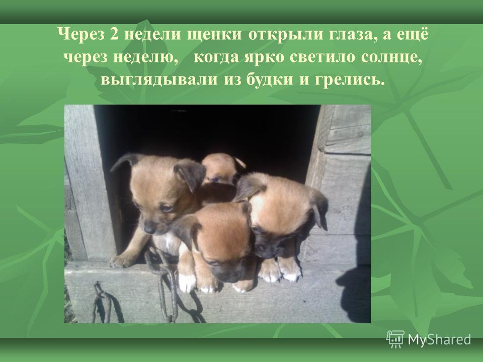 Через 2 недели щенки открыли глаза, а ещё через неделю, когда ярко светило солнце, выглядывали из будки и грелись.