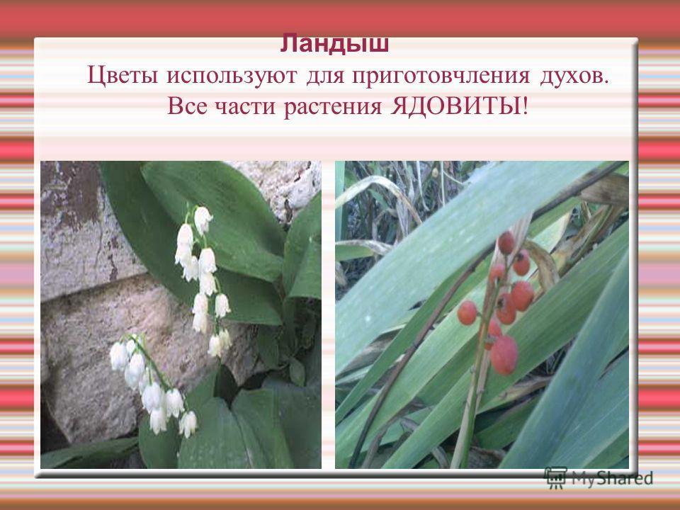 Ландыш Цветы используют для приготовчления духов. Все части растения ЯДОВИТЫ!