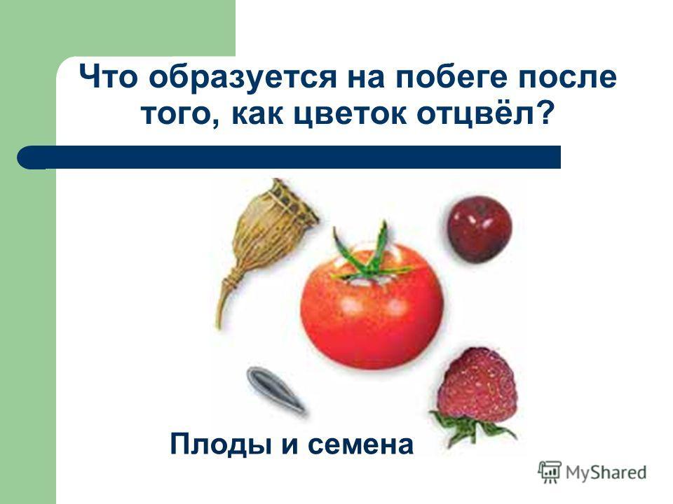 Что образуется на побеге после того, как цветок отцвёл? Плоды и семена