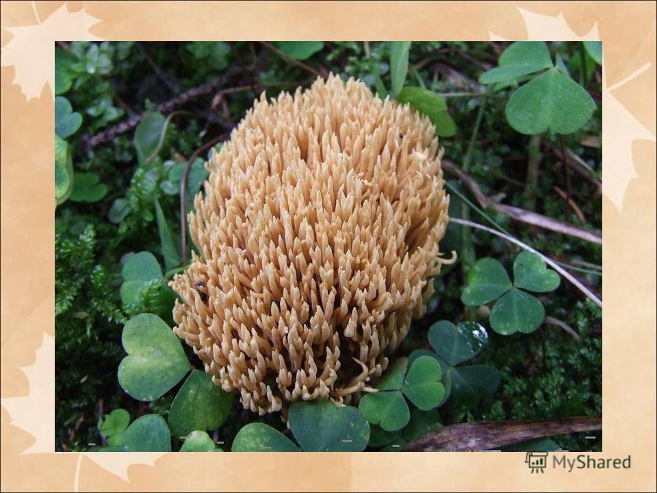 азнообразие шляпочных грибов