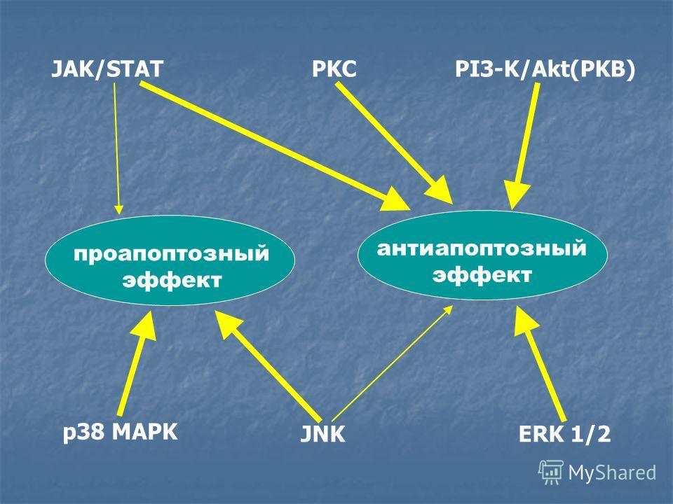 проапоптозный эффект антиапоптозный эффект JAK/STATPI3-K/Akt(PKB)PKC p38 MAPK JNKERK 1/2