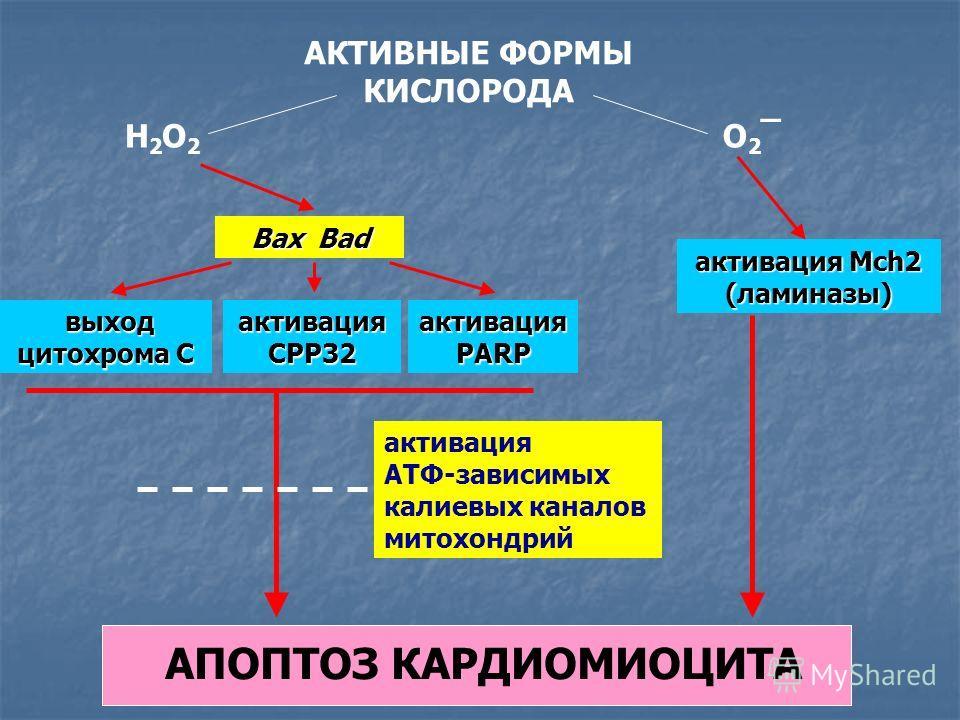 АКТИВНЫЕ ФОРМЫ КИСЛОРОДА H2O2H2O2 О2¯О2¯ Bax Bad выход цитохрома С выход цитохрома С активация CPP32 активация PARP активация Mch2 (ламиназы) активация АТФ-зависимых калиевых каналов митохондрий АПОПТОЗ КАРДИОМИОЦИТА