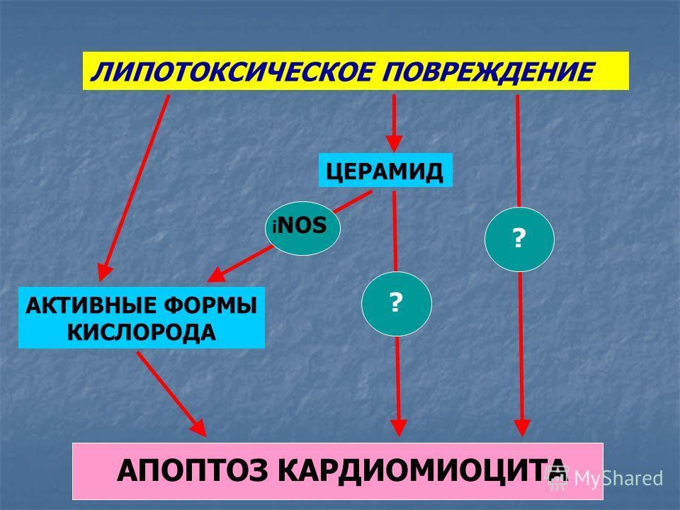 ЛИПОТОКСИЧЕСКОЕ ПОВРЕЖДЕНИЕ АКТИВНЫЕ ФОРМЫ КИСЛОРОДА ЦЕРАМИД АПОПТОЗ КАРДИОМИОЦИТА i NOS ? ?