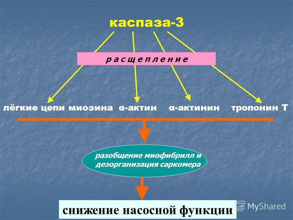 лёгкие цепи миозина α-актин α-актинин тропонин Т каспаза-3 р а с щ е п л е н и е разобщение миофибрилл и дезорганизация саркомера снижение насосной функции