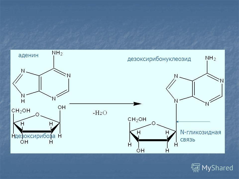 аденин дезоксирибоза дезоксирибонуклеозид N-гликозидная связь