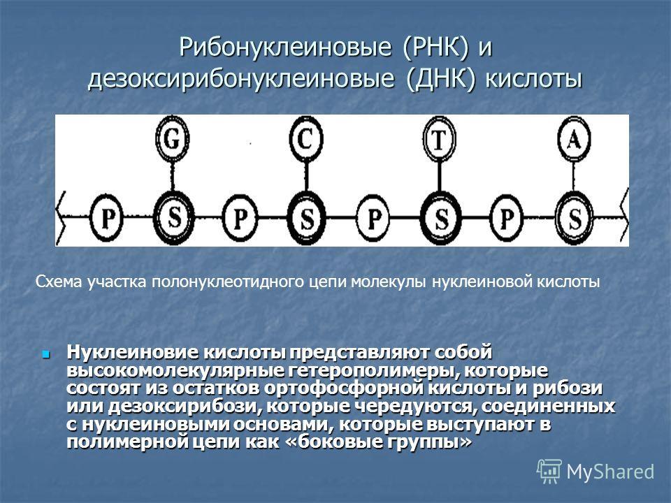 Рибонуклеиновые (РНК) и дезоксирибонуклеиновые (ДНК) кислоты Нуклеиновие кислоты представляют собой высокомолекулярные гетерополимеры, которые состоят из остатков ортофосфорной кислоты и рибози или дезоксирибози, которые чередуются, соединенных с нук