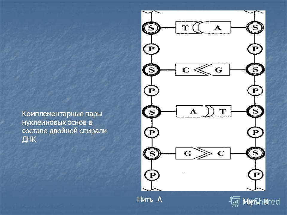 Нить А Нить В Комплементарные пары нуклеиновых основ в составе двойной спирали ДНК
