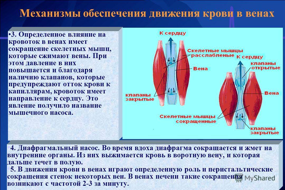 Механизмы обеспечения движения крови в венах 3. Определенное влияние на кровоток в венах имеет сокращение скелетных мышц, которые сжимают вены. При этом давление в них повышается и благодаря наличию клапанов, которые предупреждают отток крови к капил