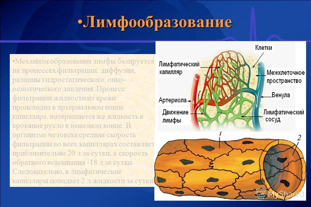 ЛимфообразованиеЛимфообразование Механизм образования лимфы базируется на процессах фильтрации, диффузии, разницы гидростатического, онко- осмотического давления. Процесс фильтрации жидкости из крови происходит в артериальном конце капилляра, возвращ