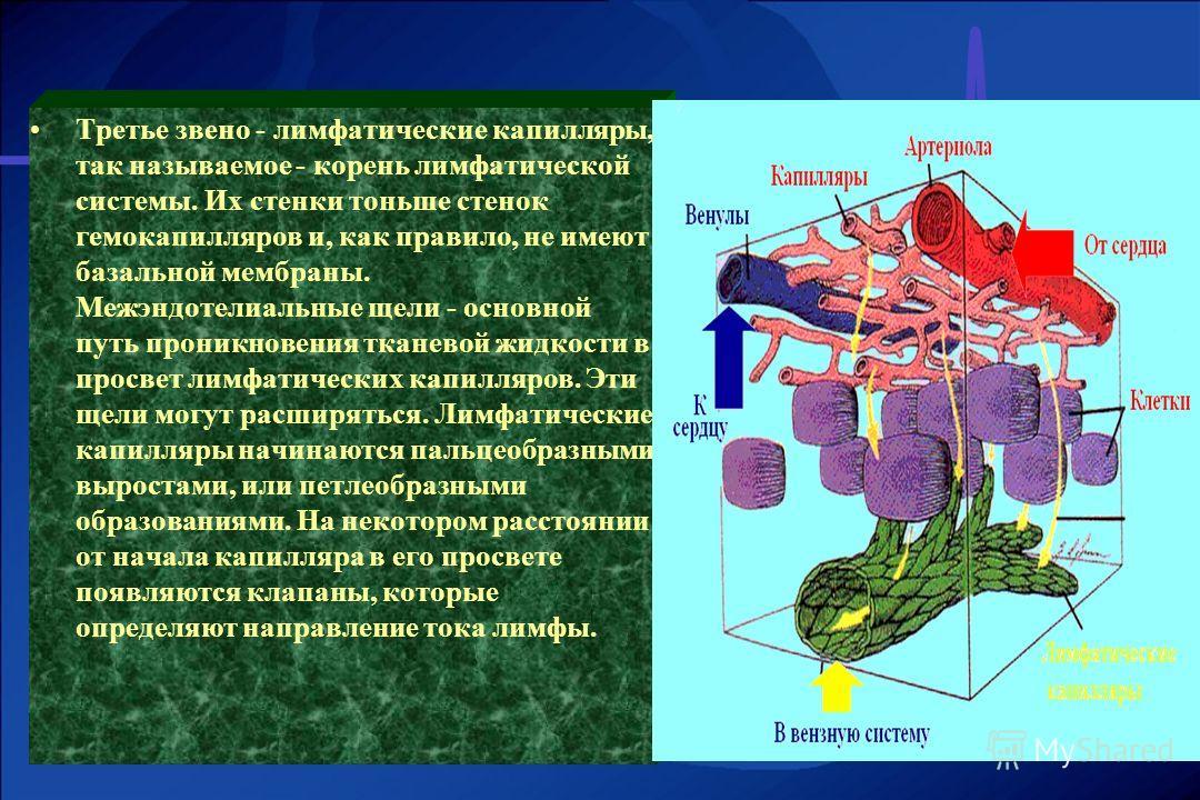 Третье звено - лимфатические капилляры, так называемое - корень лимфатической системы. Их стенки тоньше стенок гемокапилляров и, как правило, не имеют базальной мембраны. Межэндотелиальные щели - основной путь проникновения тканевой жидкости в просве