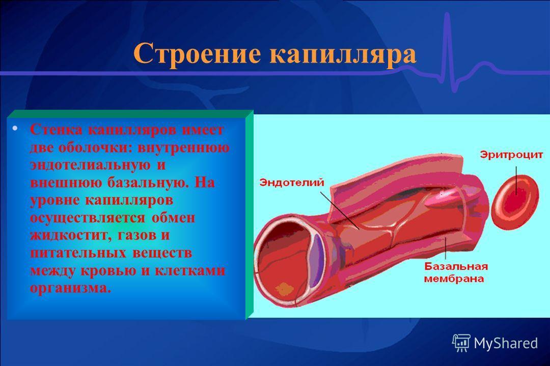 Строение капилляра Стенка капилляров имеет две оболочки: внутреннюю эндотелиальную и внешнюю базальную. На уровне капилляров осуществляется обмен жидкостит, газов и питательных веществ между кровью и клетками организма.