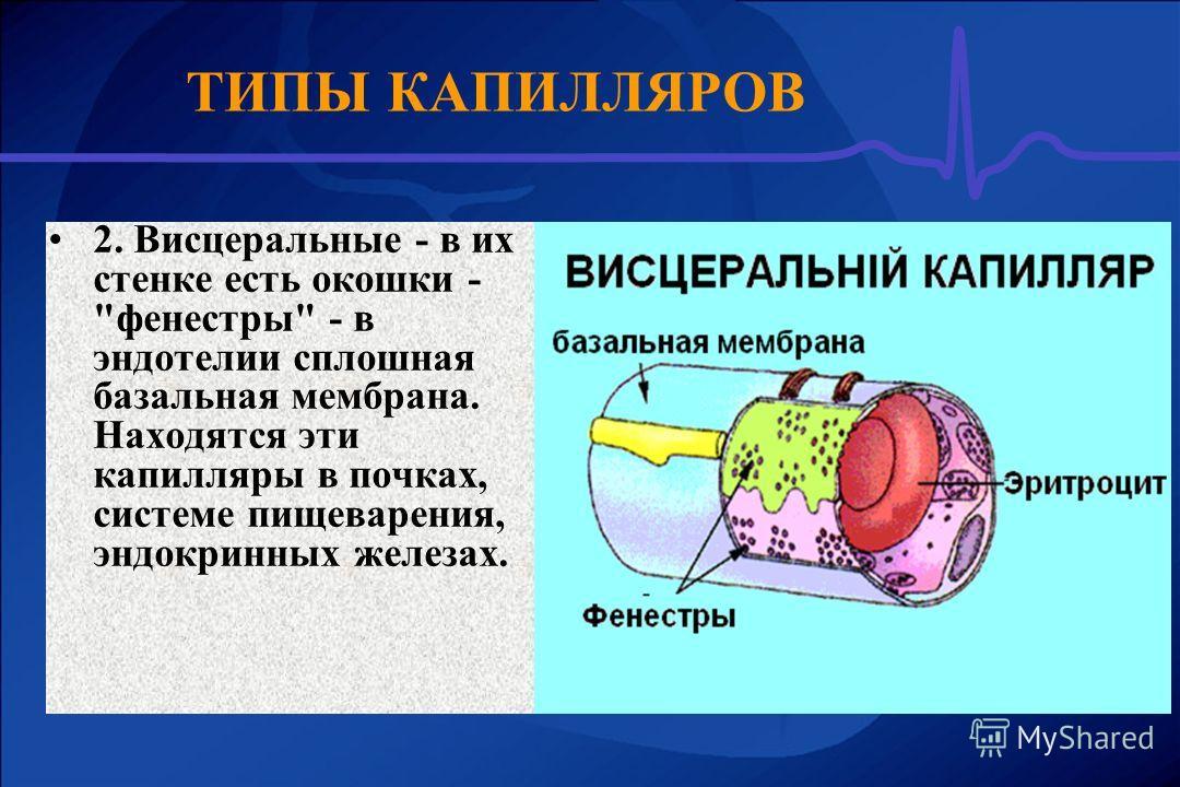 2. Висцеральные - в их стенке есть окошки - фенестры - в эндотелии сплошная базальная мембрана. Находятся эти капилляры в почках, системе пищеварения, эндокринных железах. ТИПЫ КАПИЛЛЯРОВ