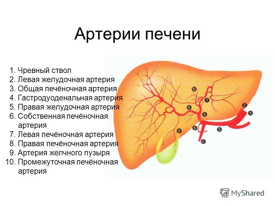 Артерии печени 1. Чревный ствол 2. Левая желудочная артерия 3. Общая печёночная артерия 4. Гастродуоденальная артерия 5. Правая желудочная артерия 6. Собственная печёночная артерия 7. Левая печёночная артерия 8. Правая печёночная артерия 9. Артерия ж