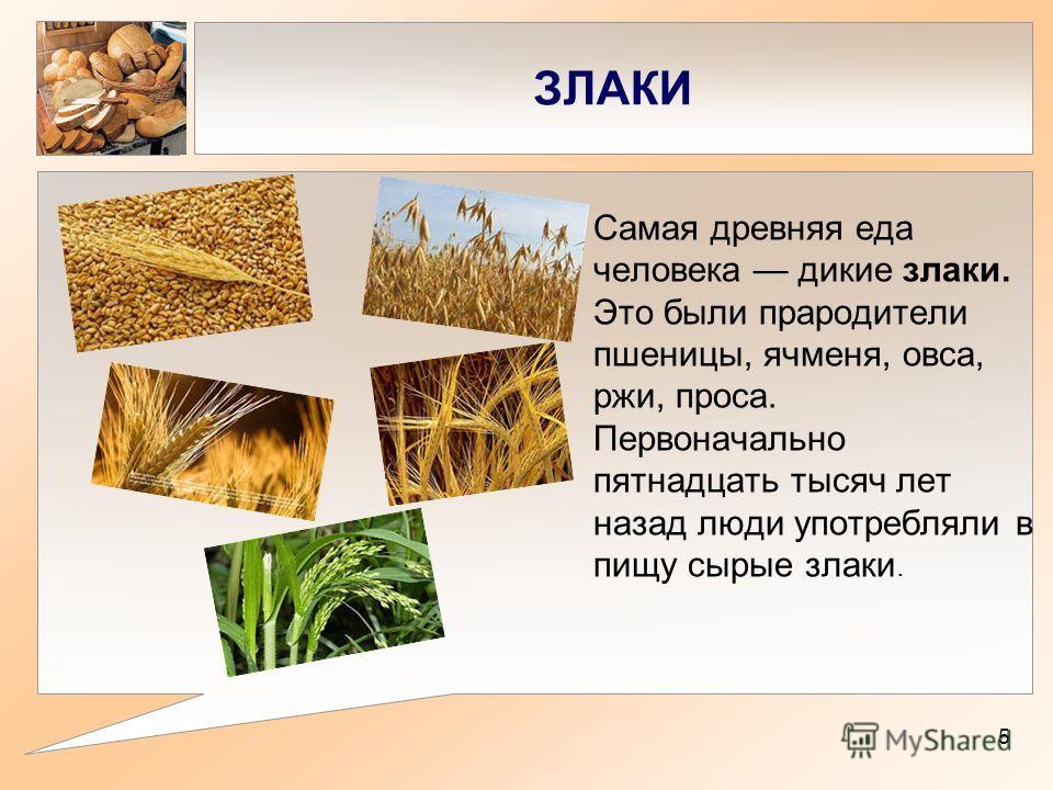ЗЛАКИ Самая древняя еда человека дикие злаки. Это были прародители пшеницы, ячменя, овса, ржи, проса. Первоначально пятнадцать тысяч лет назад люди употребляли в пищу сырые злаки. 5