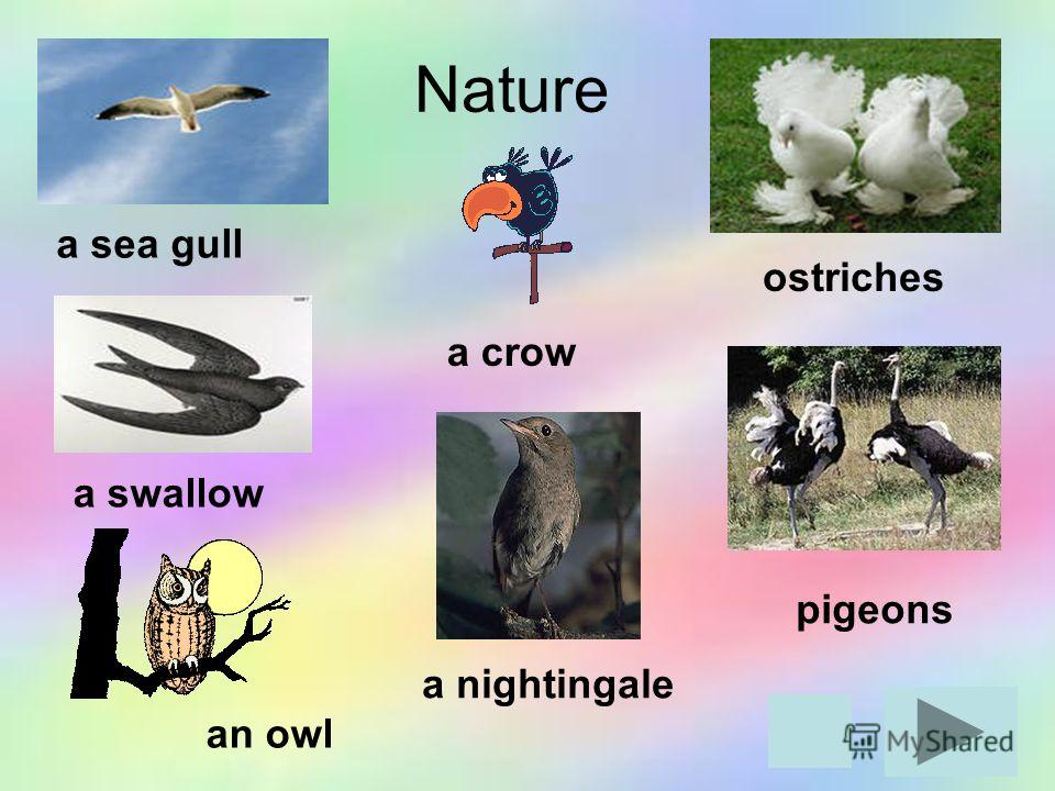 a sea gull pigeons a swallow a nightingale Nature ostriches a crow an owl