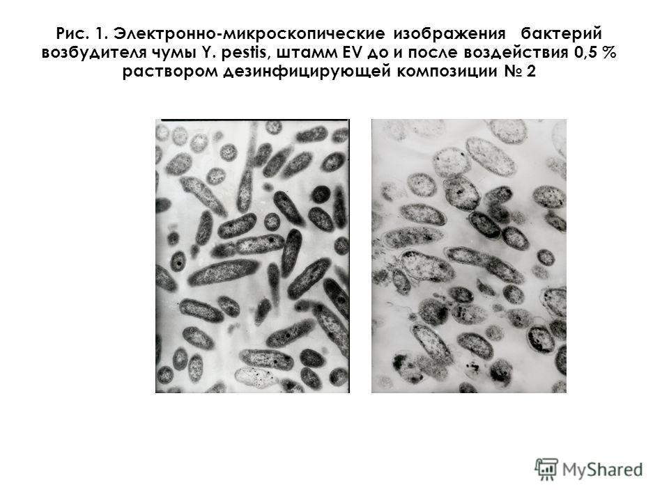 Рис. 1. Электронно-микроскопические изображения бактерий возбудителя чумы Y. pestis, штамм ЕV до и после воздействия 0,5 % раствором дезинфицирующей композиции 2