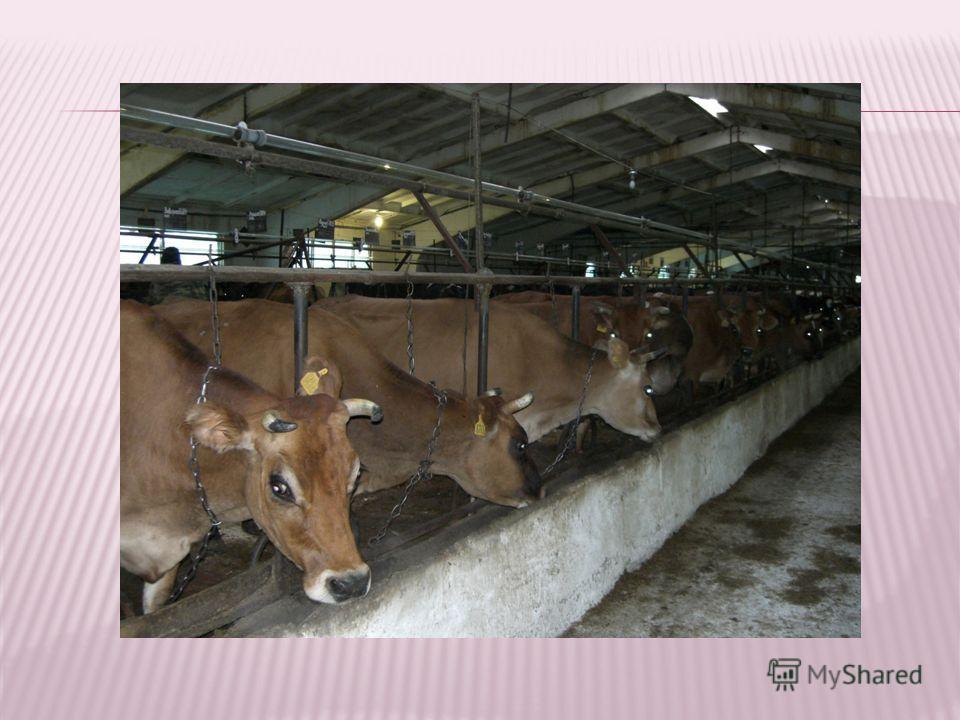 По своему химическому составу молоко джерсейских коров отличается от молока других пород. Можно сравнить например такие показатели :количества белка в молоке черно- пестрых коров 2,8-3,1 %, а джерсейских 4,1-4,2 %, сахара в молоке черно-пестрого 4,5-