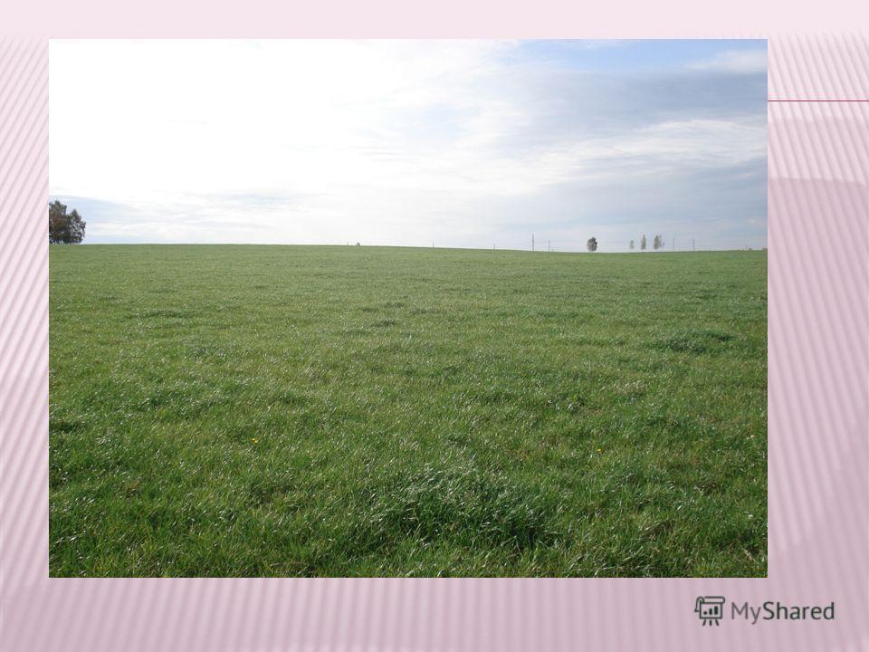 Основа пастбища - белый клевер, он вызревает, осыпается, семена не вытаптываются и трава так быстро отрастает, что животные не успевают ее поедать. Участки с переросшей травой мы подкашиваем и получаем на зиму замечательное сено для телят – мелкое, м