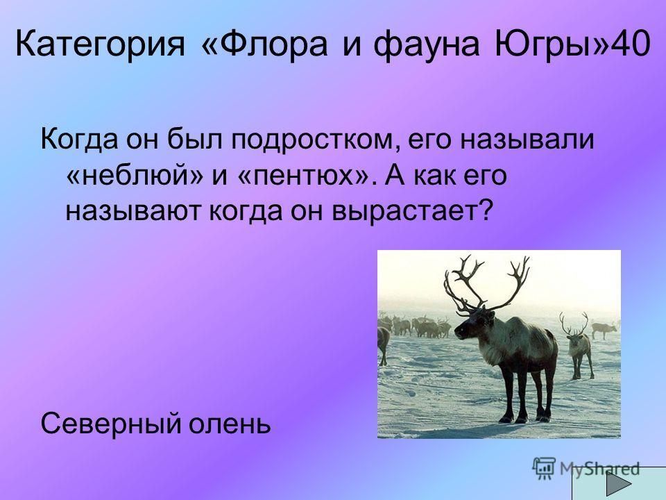 Категория «Флора и фауна Югры»40 Когда он был подростком, его называли «неблюй» и «пентюх». А как его называют когда он вырастает? Северный олень