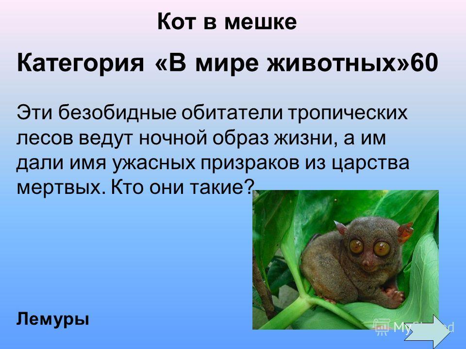Категория «В мире животных»60 Эти безобидные обитатели тропических лесов ведут ночной образ жизни, а им дали имя ужасных призраков из царства мертвых. Кто они такие? Лемуры Кот в мешке